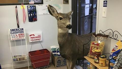 Colorado, la mamma cervo va in cerca di regali, poi chiama anche i ...