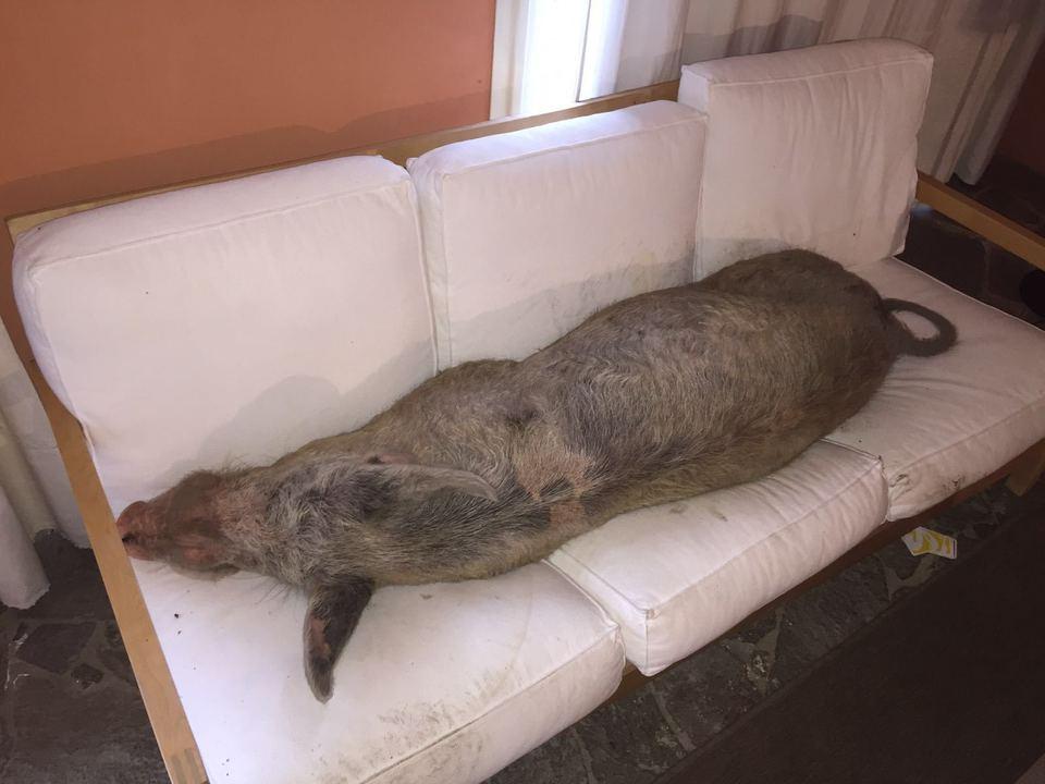 Sardegna trovano un maiale a dormire sul divano sorpresa - Dormire sul divano ...