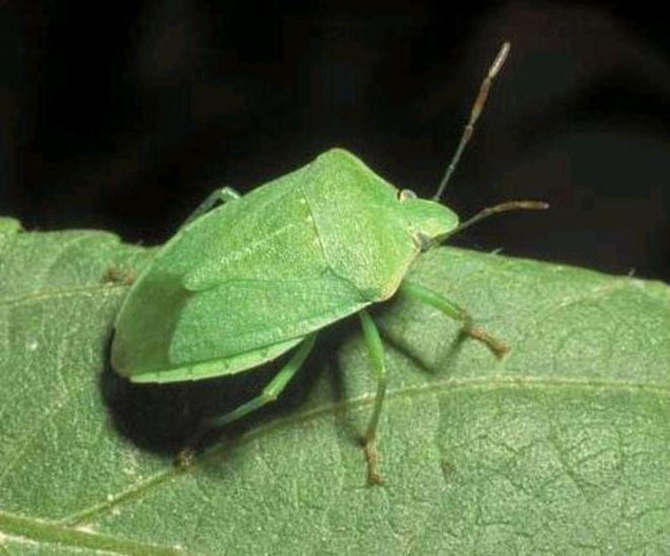 Casa invasa dalle cimici verdi ecco come liberarsene for Cimice insetto