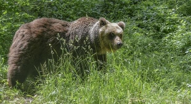 L'orso denominato M49 (immagine pubblicata da Ansa)