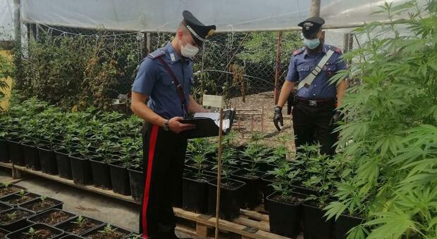 Coltivavano marijuana, maxi sequestro e tre arresti dei carabinieri