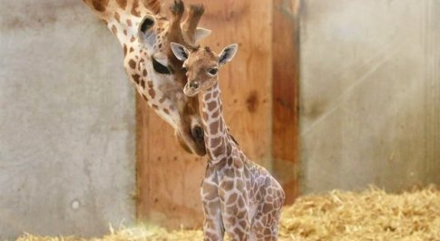 La giraffina morta dopo pochi giorni