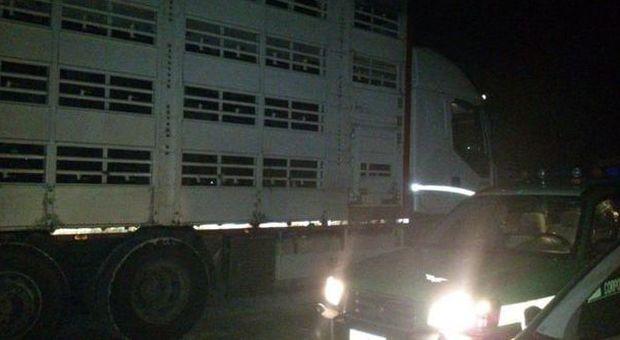 Cavalli maltrattati e senza documenti: maxi stangata per proprietari e trasportatori