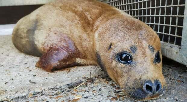 """Freddie the Seal """"Stella"""" del Tamigi ucciso da un cane. Alla ricerca del proprietario, London interviene"""