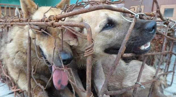 Cani chiusi in gabbiette arrugginite prima di essere trucidati. (Immag pubbl da Umane Society International sui social)