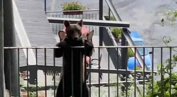 Torna l'orso Juan Carrito: scavalca la recinzione e si aggira per Scanno