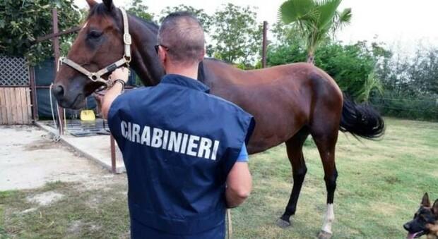 Roma, carabinieri ritrovano 6 cavalli rubati: multa record per un allevatore di Bracciano