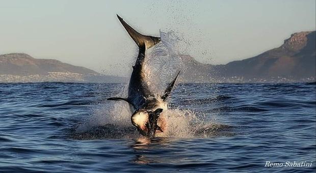 Il salto spettacolare di uno squalo bianco di 4,5 metri. (immag e video esclusivo di Remo Sabatini)