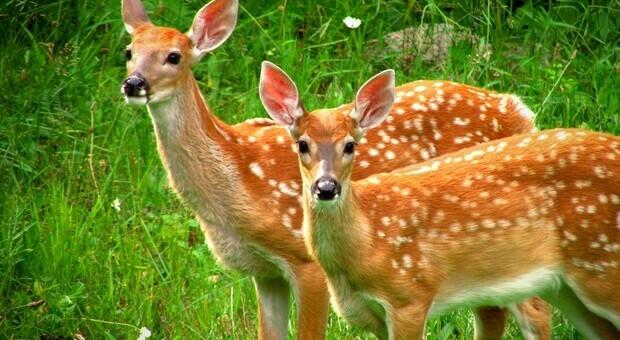Usa, anche i cervi dalla coda bianca hanno il Covid: «Vasta diffusione negli animali selvatici»