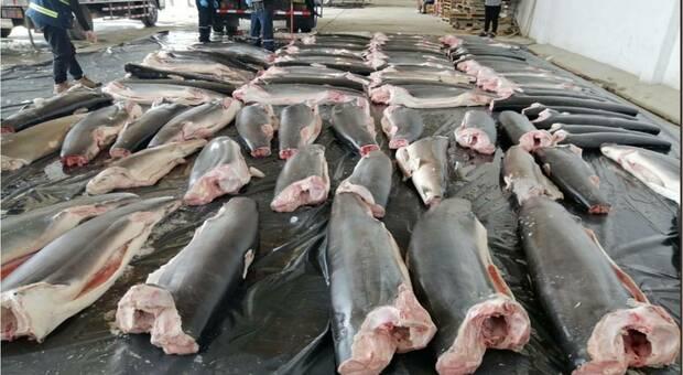 Maxi sequestro di squali in Perù (immagini diffuse da SINAT, la polizia ambientale, su Twitter)