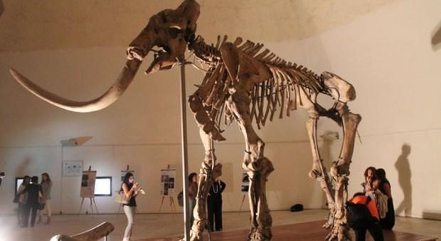 L'Aquila, lo scheletro del mammut finalmente esposto al Munda