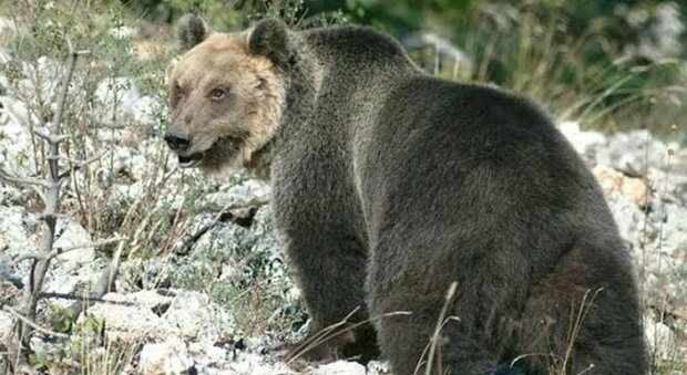Trento, l'orso M49 è fuggito di nuovo: ha divelto la rete della gabbia