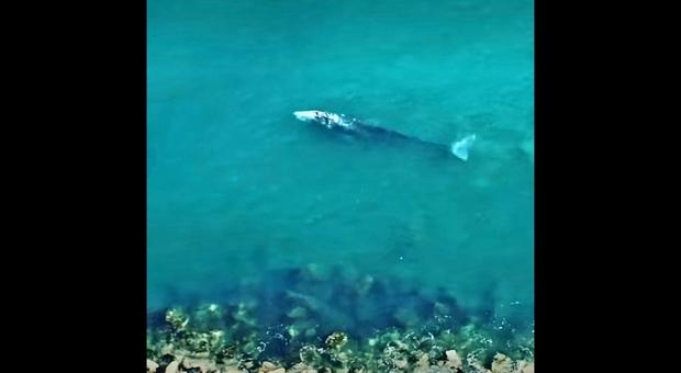 Ponza, balena grigia filmata per la prima volta in Italia: colpa dei cambiamenti climatici?
