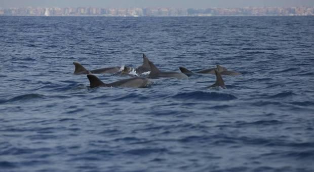 Ostia, i delfini salutano l'estate. Decine di mammiferi avvistati sotto costa