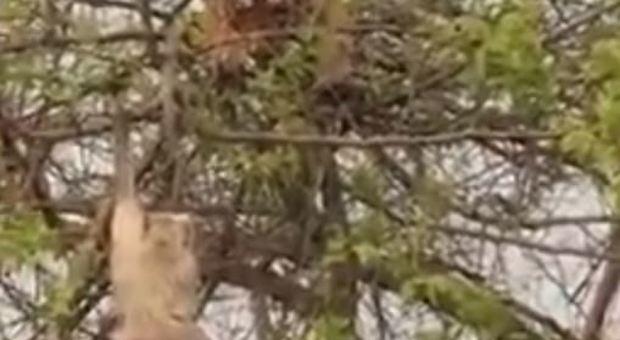Tigre sull'albero per catturare la scimmia: ma l'operazione fallisce e il video diventa virale