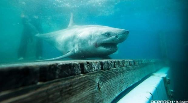 Una immagine dello squalo bianco denominato Cabot (foto pubblicata da Ocearch/R. Snow su Facebook)