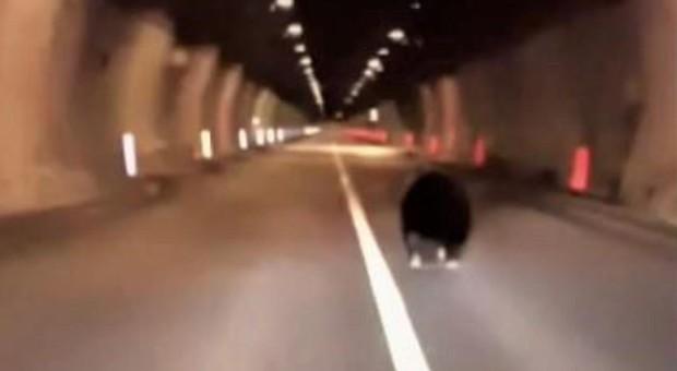 Automobilista vede orso in strada e lo scorta al sicuro