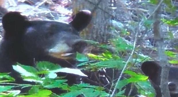 Usa, si finge morta dopo essere stata attaccata da un orso sul vialetto di casa: ecco la drammatica telefonata ai soccorritori