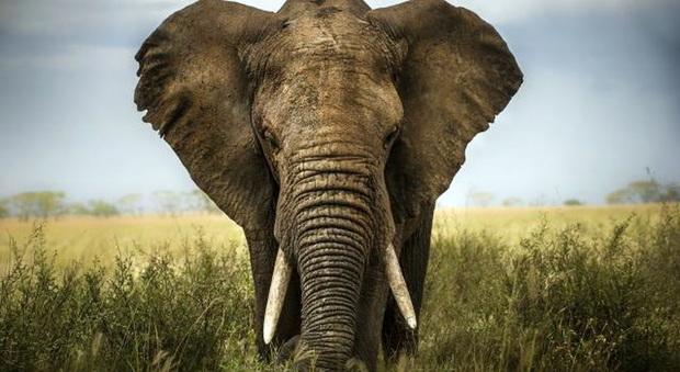 Gli elefanti sono meno grassi degli uomini: lo dice la scienza