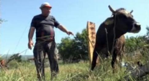 Bulgaria, la mucca Penka può tornare in Europa, non sarà abbattuta