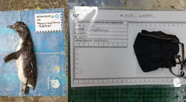Covid, pinguino morto a causa di una mascherina: ira animalisti per i «rifiuti da pandemia»
