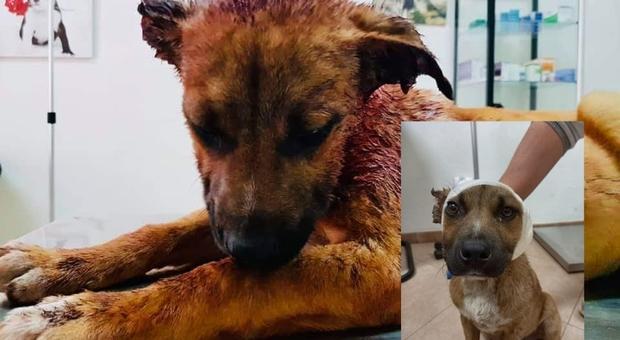 Leone, prima e dopo le cure (immag pubbl da Oipa Ragusa su Fb)