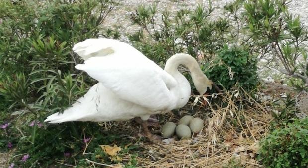 Le uova di mamma cigno prese a sassate. Morti tutti i pulcini (immag pubbl da L'Arena e Il Dolomiti)