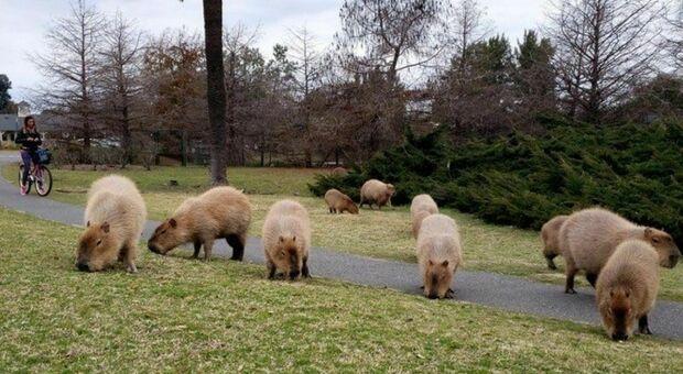 Capibara giganti (pesano sino a 80 kg) invadono Buenos Aires. «Si riappropriano del loro habitat»