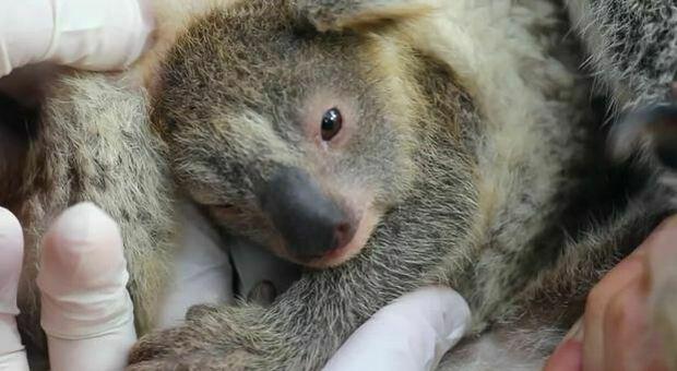 Australia, Koala a rischio estinzione: «Tra 30 anni non ci saranno più»