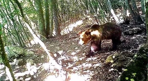 Una delle ultime immagini dell'orso M49 Papillon in libertà. (immag pubbl da Il Messaggero)