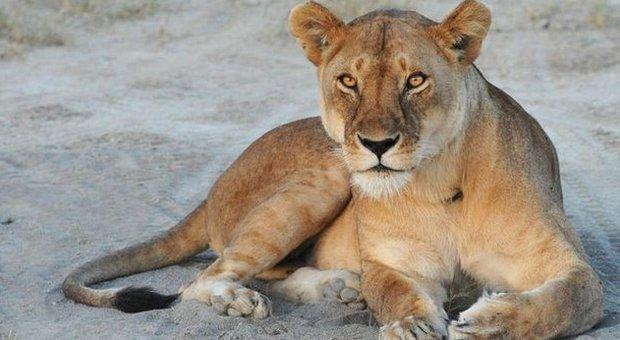 Zoo danese programma dissezione pubblica di una leonessa