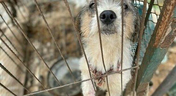 Cani cannibali in Corea del Sud, scoperto allevamento degli orrori: cento sono stati salvati