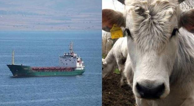 Odissea nel Mediterraneo, 2 navi con 2.600 bovini a bordo in mare da dicembre: animali stremati
