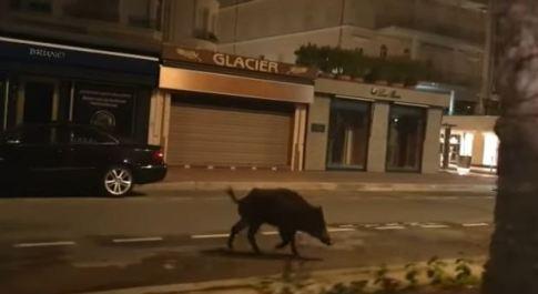 Cannes, nuovo vip sulla Croisette: cinghiale a spasso approfittando del lockdown