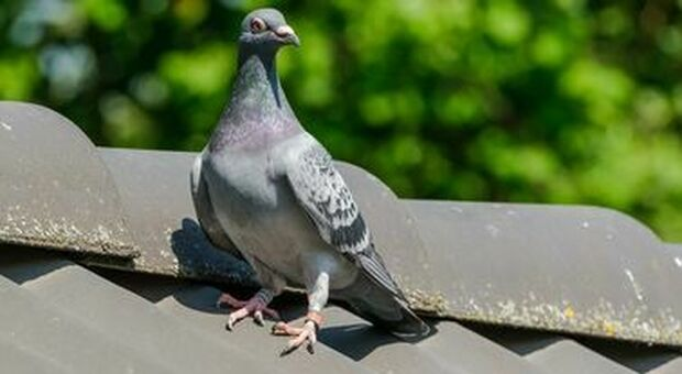 Australia, il viaggio del piccione Joe: 13mila km per trovare casa (ma le autorità lo vogliono uccidere)
