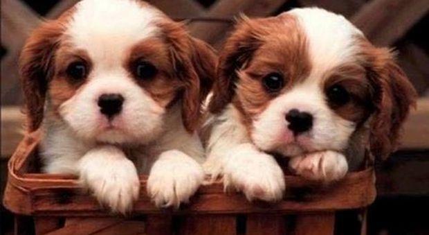 La truffa dei cuccioli in regalo