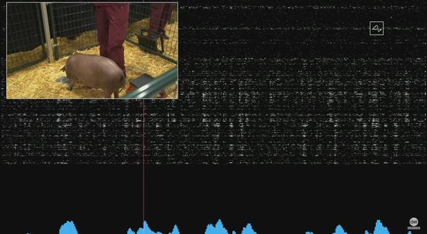 Elon Musk, il chip che connette il cervello a un computer è realtà: Neuralink speriementato (per ora) sui maiali