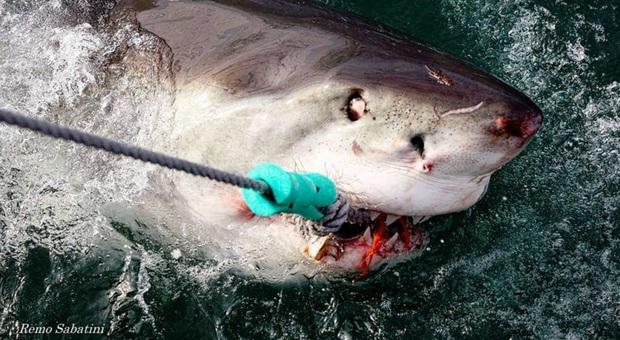 Uno squalo bianco all'esca senza amo per lo studio (immag Remo Sabatini)