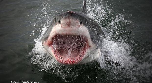Lo squalo bianco nuota nel Mediterraneo da 3,2 milioni di anni ma oggi rischia l'estinzione (immagine Remo Sabatini)