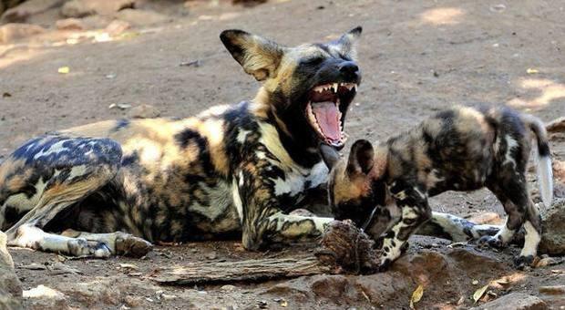 Licaoni fuggono dal recinto del parco safari: è strage di daini e pecore