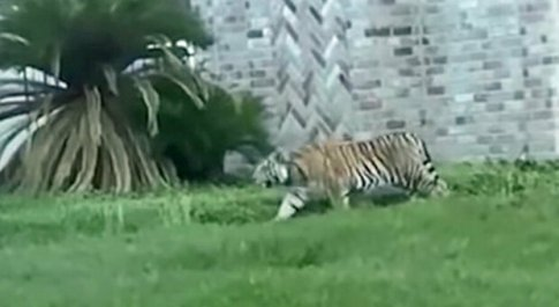 Killer in fuga con una tigre a Houston, la polizia lo identifica grazie a un video sul web