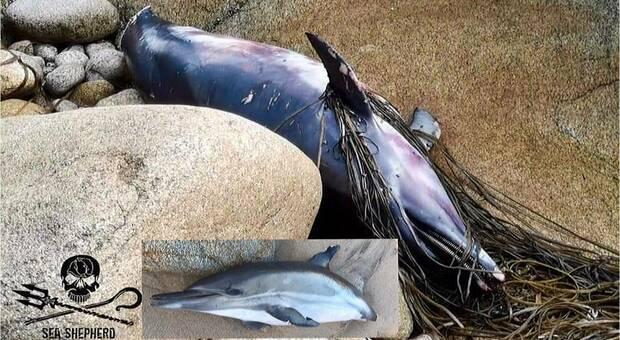 Delfini amputati della coda trovati morti sulle coste francesi. La denuncia di Sea Shepherd.