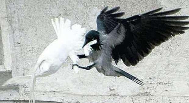 La colomba della pace attaccata da un corvo in Vaticano