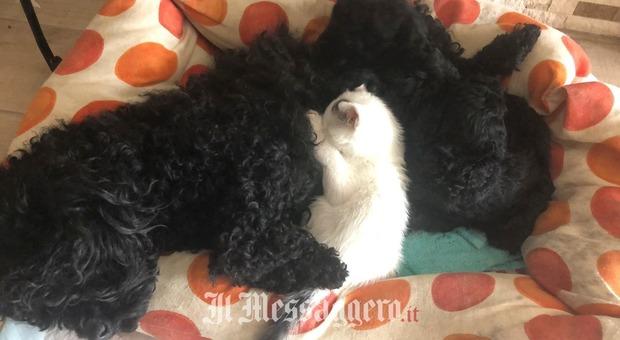 Roma, il gattino senza mamma viene allattato dal cane