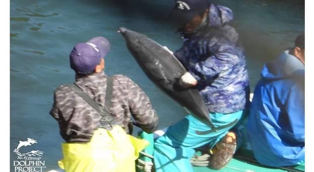 Nuova strage di delfini in Giappone con un cucciolo rapito. (immagini pubblicate da Ric O'Barry's Dolphin Project su Fb)
