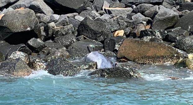 Ostia, delfino trovato morto sugli scogli: «Non toccatelo, rischio epidemia»