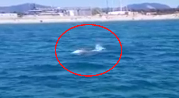 Balena Wally avvistata a Viareggio, le spettacolari immagini su Facebook: «Ha sfiorato il moletto»