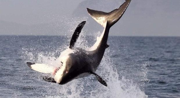 Un grande squalo bianco a caccia di otarie in Sudafrica (immagine di Remo Sabatini)