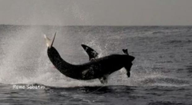 Squalo bianco salta fuori dall'acqua per cacciare. (frame di Remo Sabatini Video di Oceans Research)