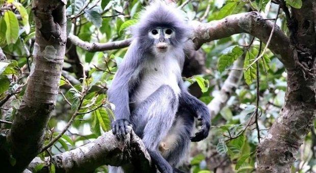 un esemplare di langur Popa, la nuova scimmia scoperta e già in pericolo di estinzione (immagine diffusa da Natural History Museum su Twitter)